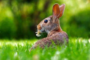 conejo hierba